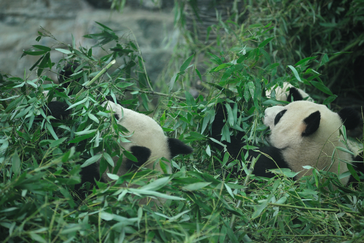 パンダの画像 p1_35